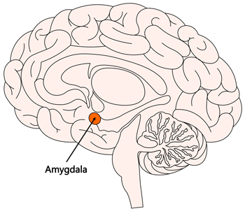 Emotion Facts: Emotions in the Brain